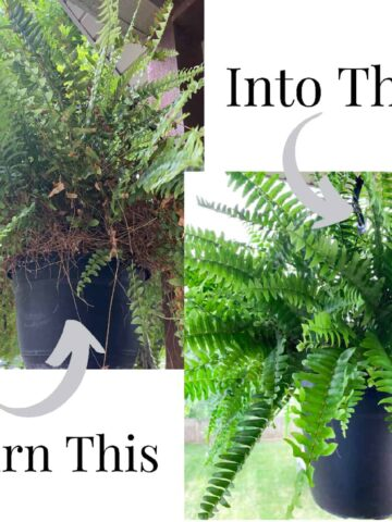 shows before and after picture of how to turn a dying fern with browned fronds into a luscious and beautiful and health hanging fern basket