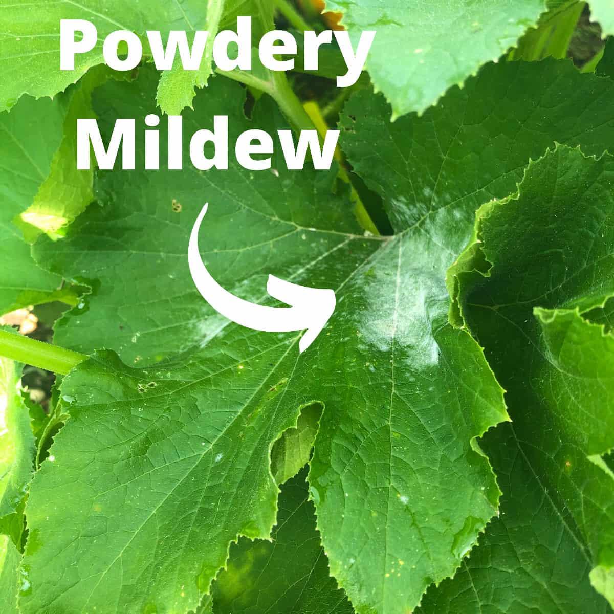 a patch of white powdery mildew on a zucchini leaf