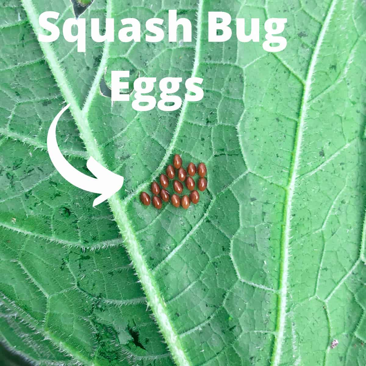 a cluster of squash bug eggs on the back of a green zucchini leaf