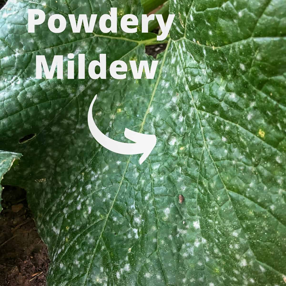 a large green zucchini leaf with white powdery mildew circles all over the top of the leaf
