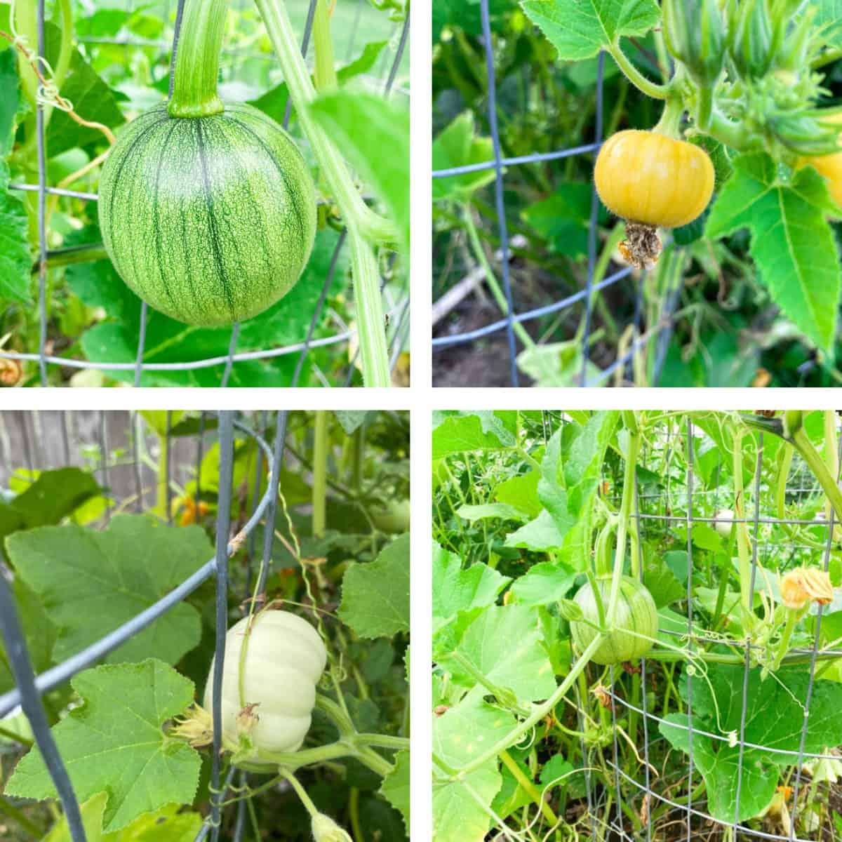 different varieties of pumpkins growing on a pumpkin tower trellis