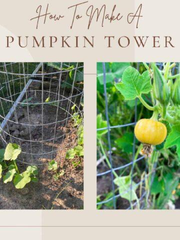 shows a pumpkin tower and a pumpkin growing vertically on a pumpkin tower